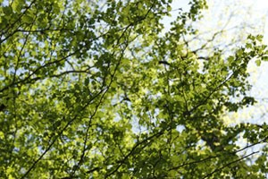 feuilles2-300px