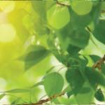 feuilles-cvo