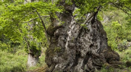 561x360_chataignier-pianello-candidat-prix-arbre-annee-corse